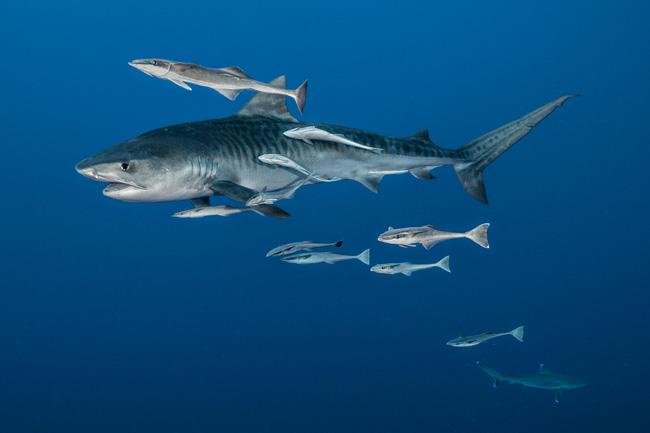 イタチザメの画像 p1_18