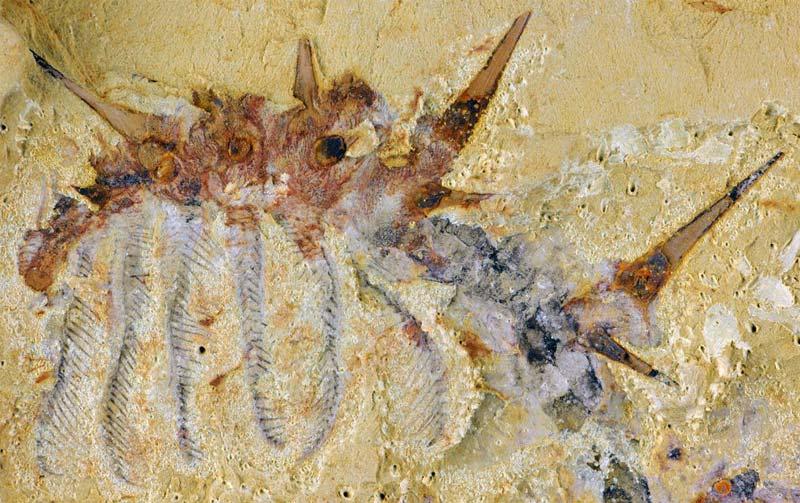 ウィワクシア,バージェス頁岩動物群,ハルキゲニア,オパビ二ア,ウィワクシア,化石,古生物