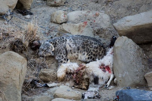 絶滅危惧種ユキヒョウを脅かす気候変動と遊牧民 | ナショナル ...