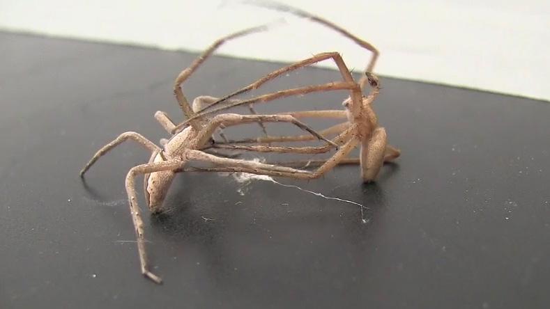 メスを縛って交尾有利に、クモで判明   ナショナルジオグラフィック ...