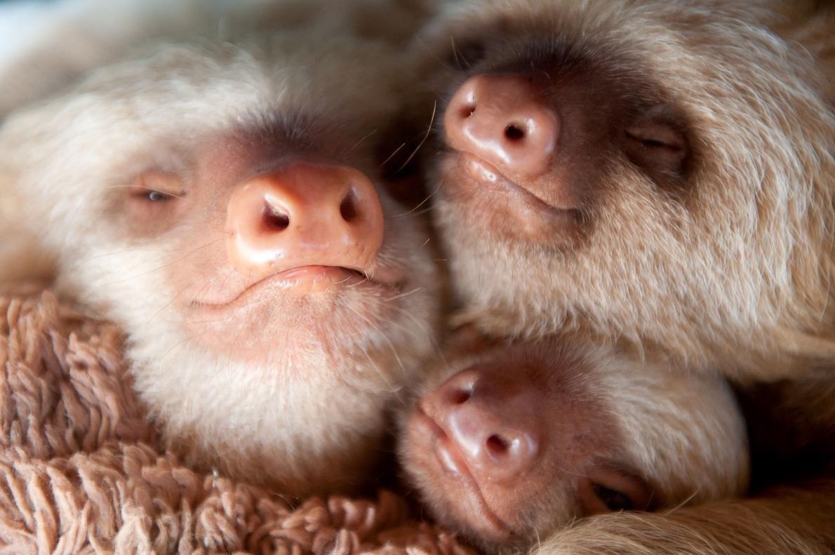 眠るナマケモノの赤ちゃん