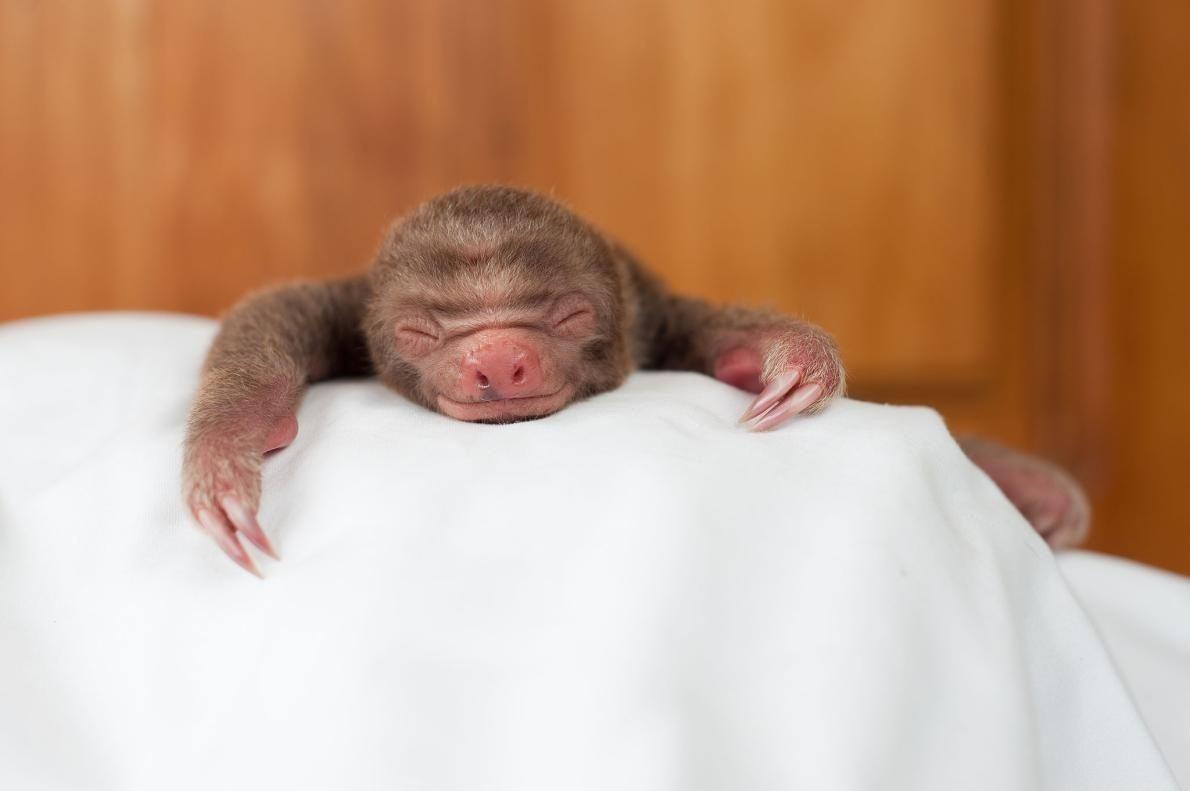 昼寝をするナマケモノの赤ちゃん