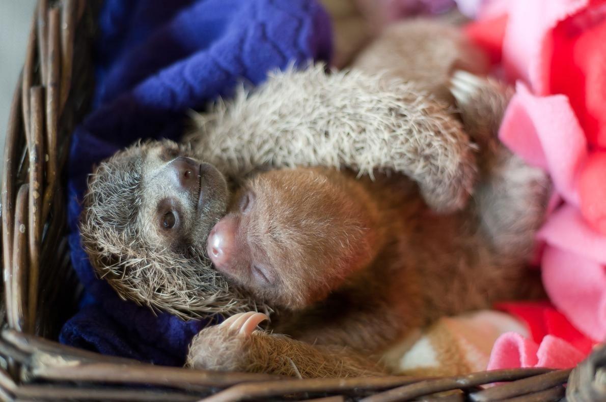 遊ぶ二匹のナマケモノの赤ちゃん