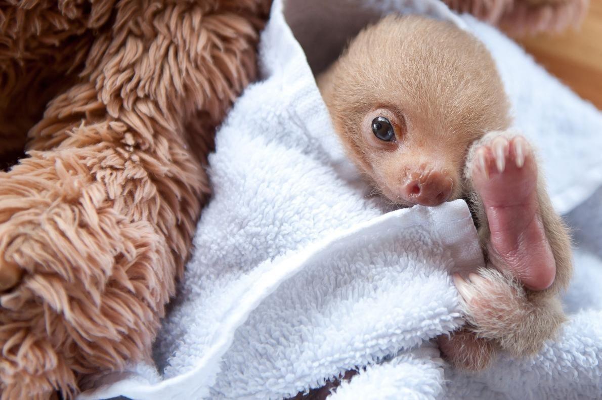 毛布に包まれたナマケモノの赤ちゃん