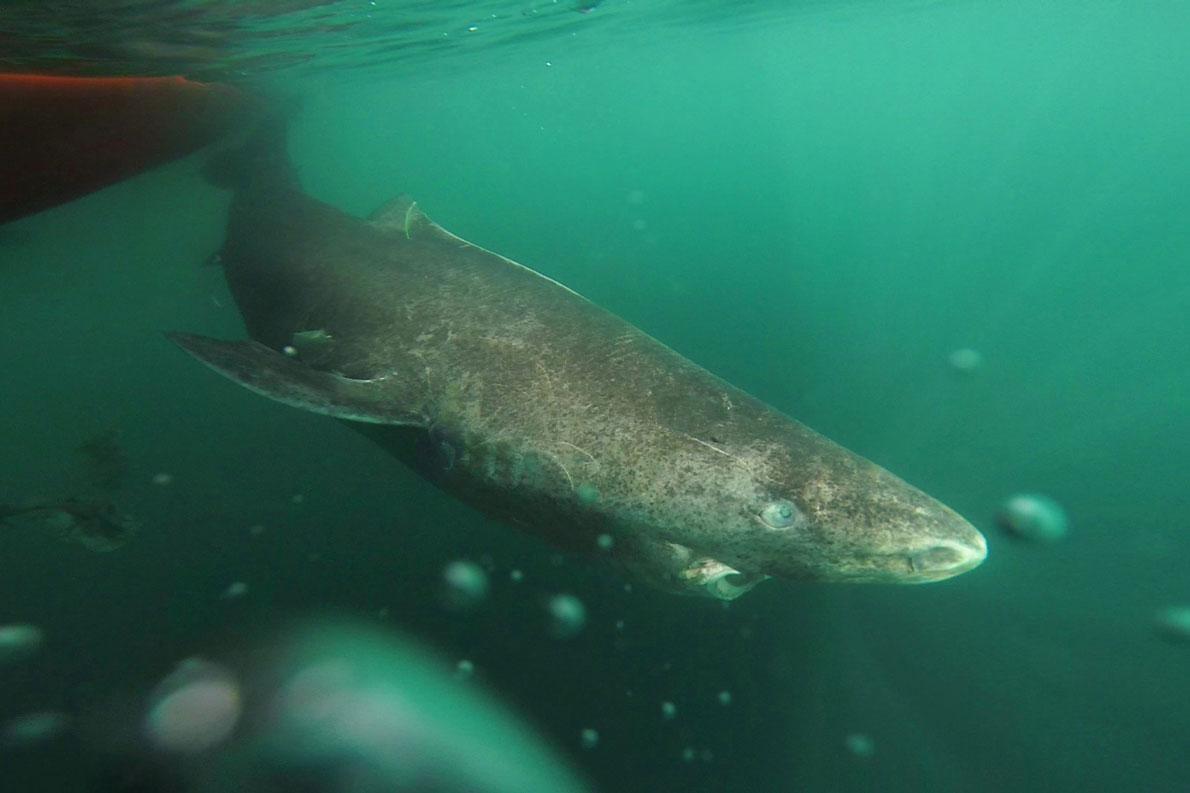 約400歳のサメが見つかる、脊椎動物で最も長寿