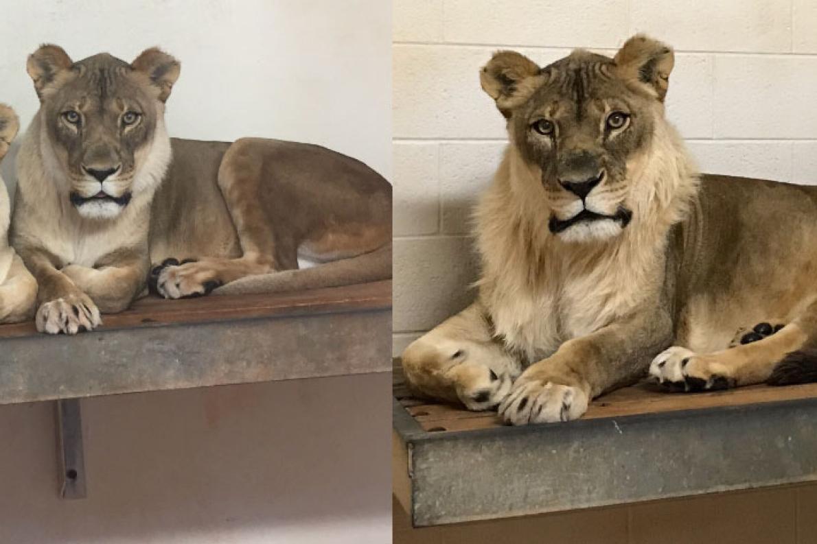 ph thumb - 【動物】おばあちゃんライオンに「たてがみ」が生えてきた 動物園に暮らす18歳、原因は不明[03/01]