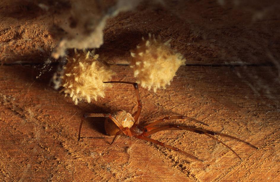 01 - 【昆虫】なぜか高齢なメス選ぶオス、クモで判明、利点なし ハイイロゴケグモの不合理な選択[03/23]