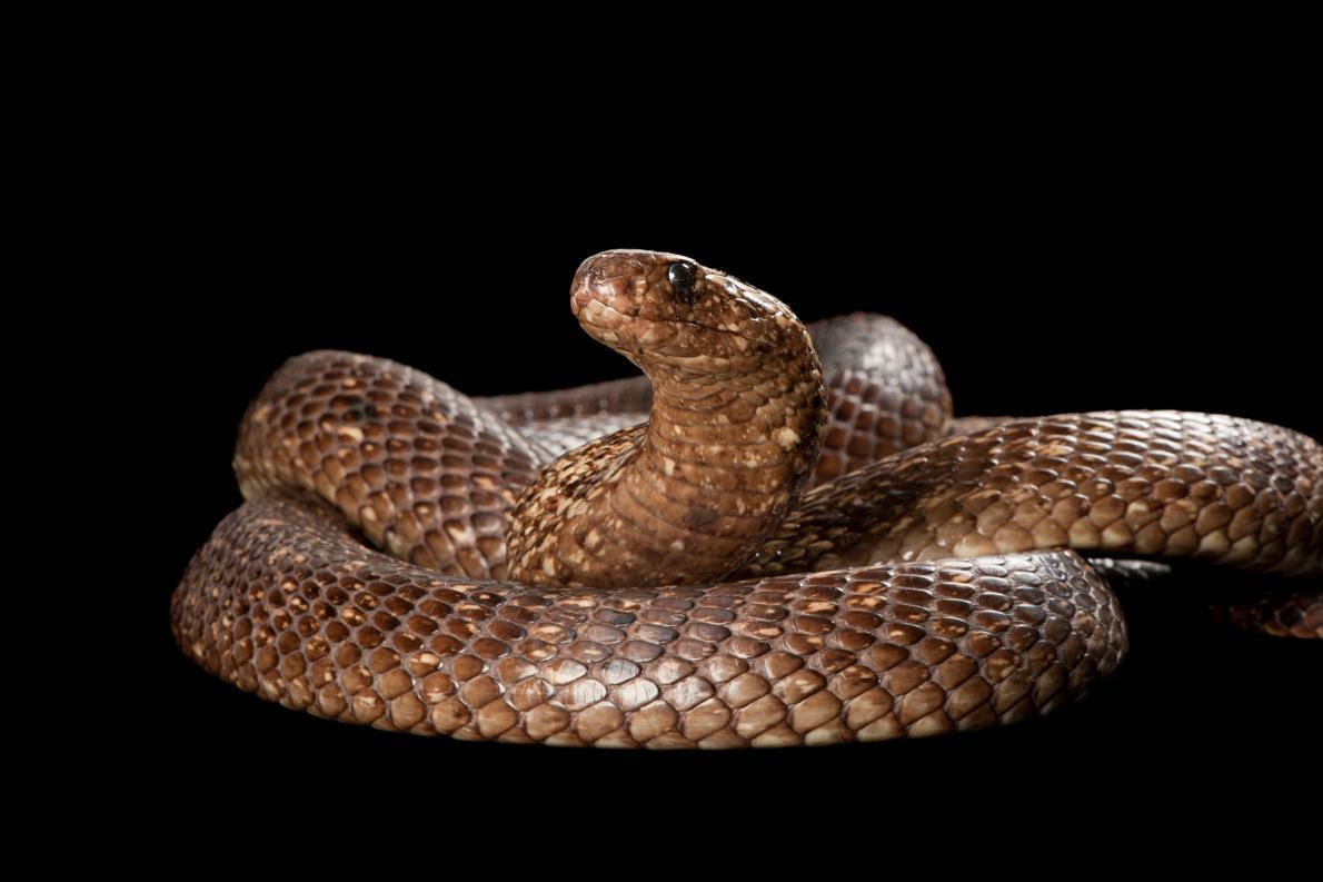 定説覆すコブラの共食い、しかも...