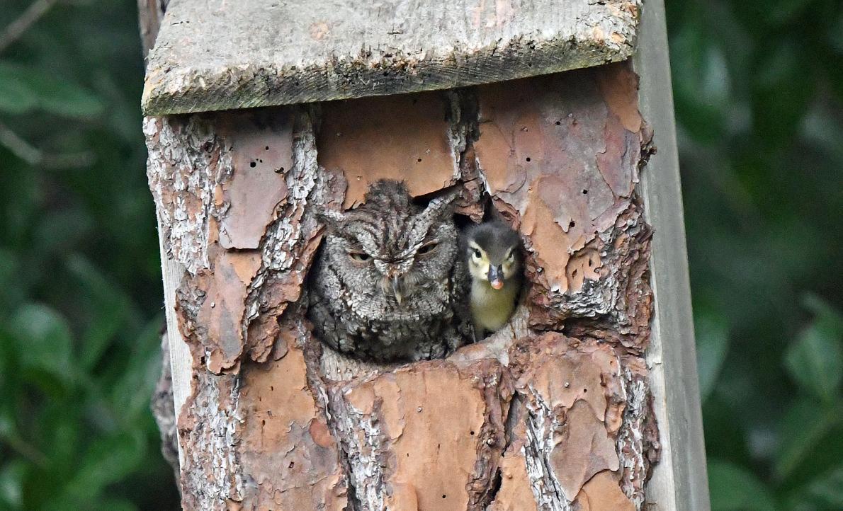 なぜフクロウの巣にカモのヒナが?専門家に聞いたナショナルジオグラフィック日本版サイト