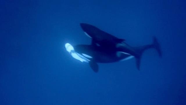 サメ シャチ 対