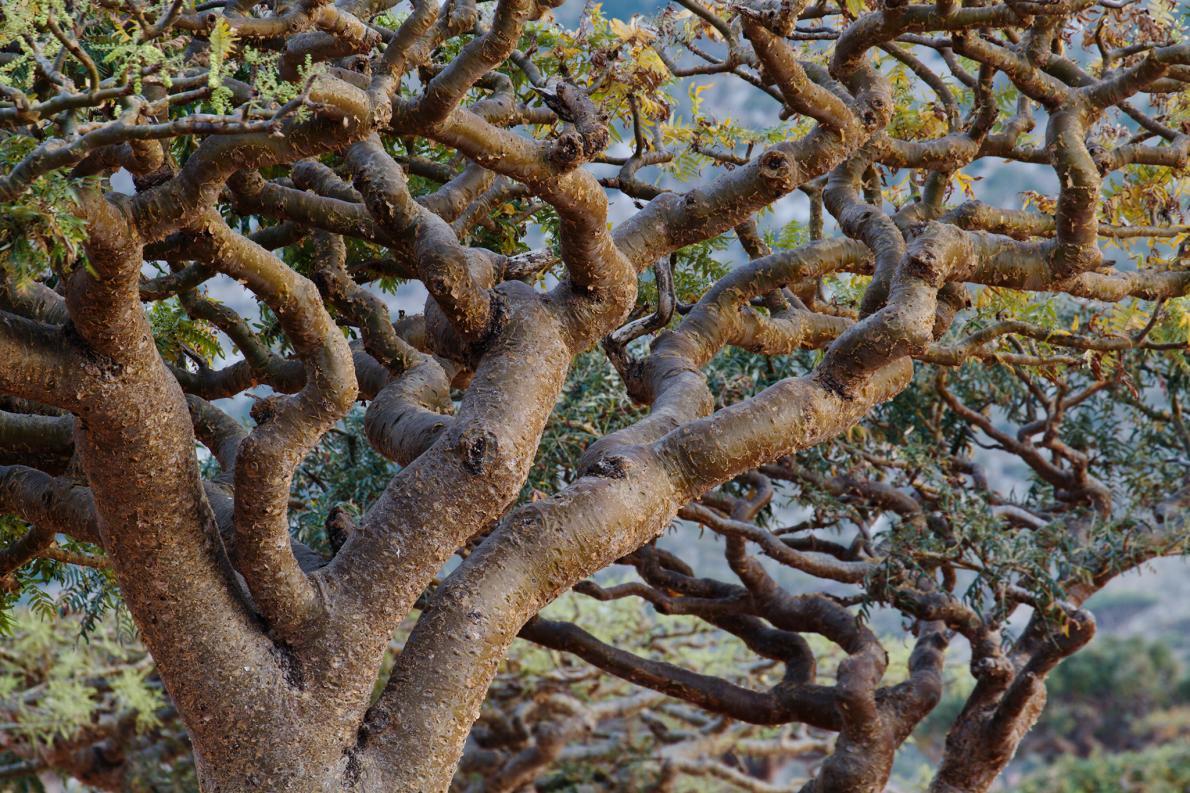 乳香の木が減っている、イエスに贈られた伝統香料 | ナショナルジオ ...