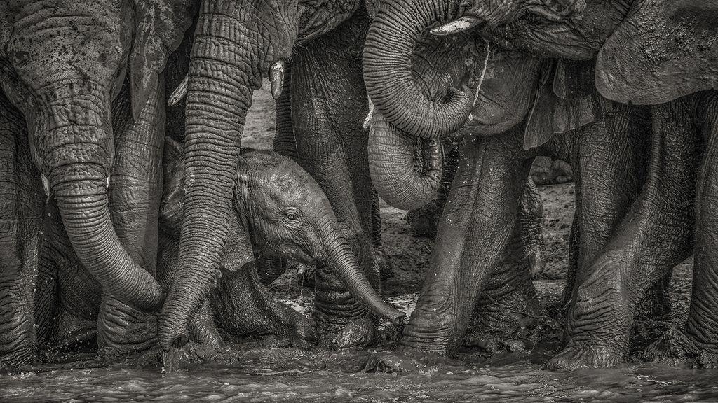 泥浴びするゾウの赤ちゃん