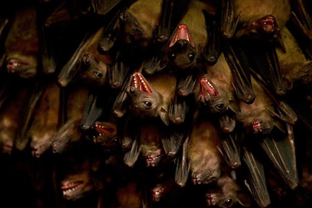 オオコウモリの画像 p1_29
