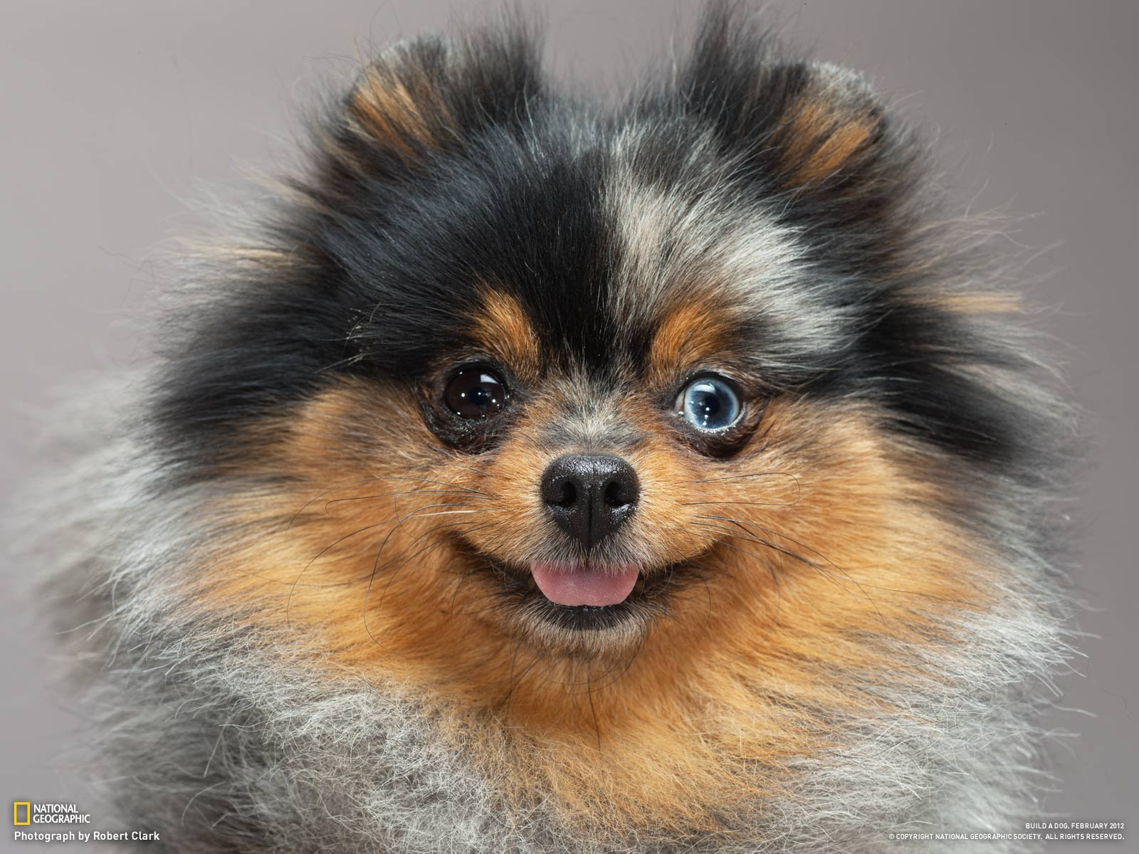 Australian Shepherd Pomeranian Mix For Adoption - Goldenacresdogs com