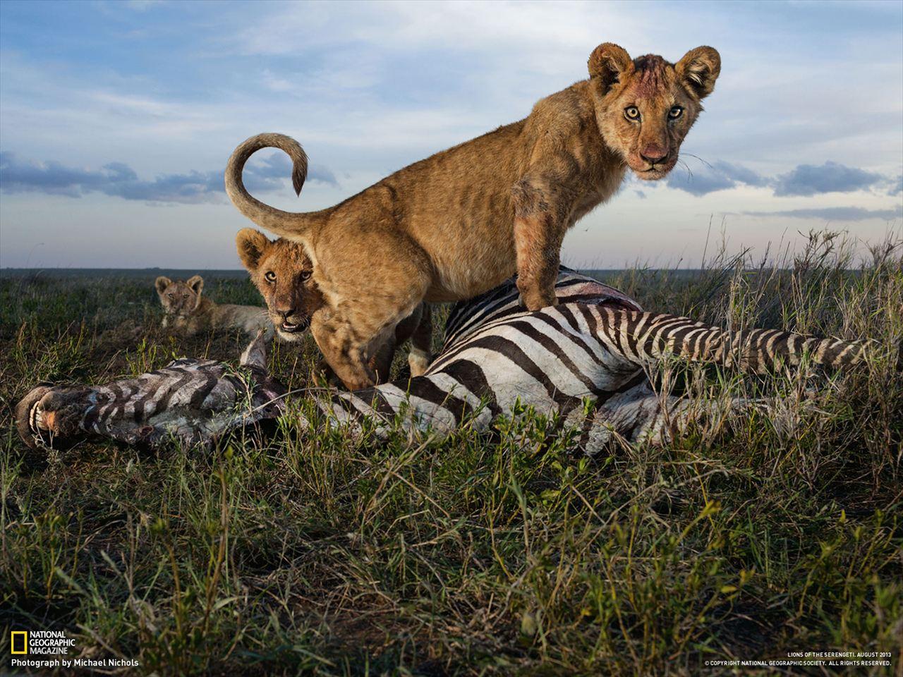 肉の味を覚えたライオンの子たち(タンザニア) | ナショナルジオグラフィック日本版サイト