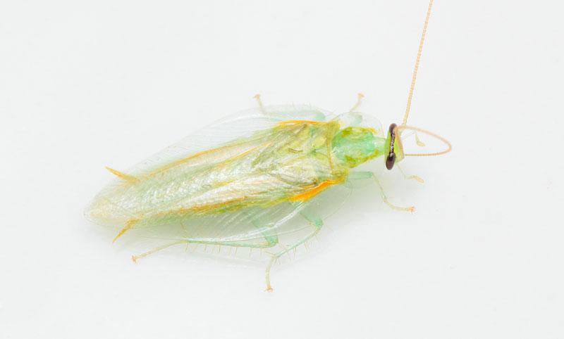 【速報】透明のゴキブリ 気持ち悪くない