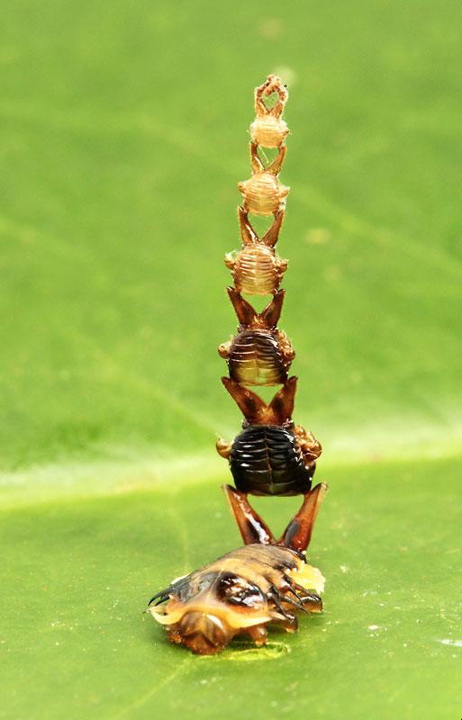 カメノコハムシの一種(甲虫目 ...