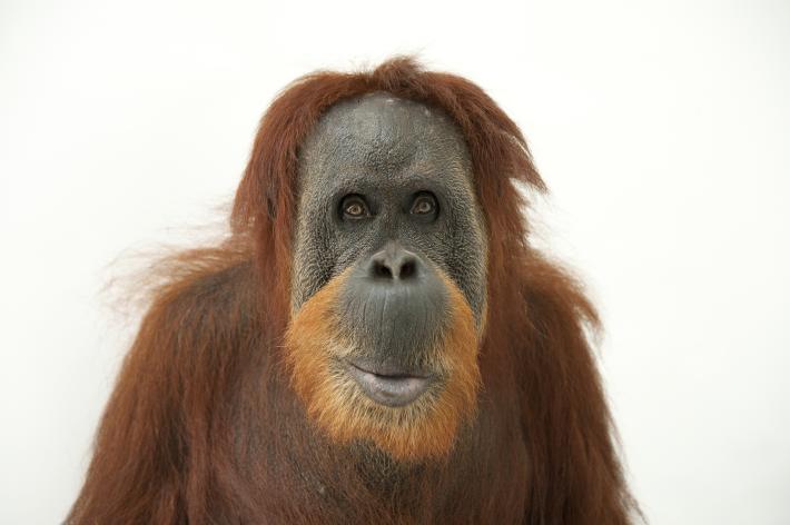 「オランウータン」の画像検索結果