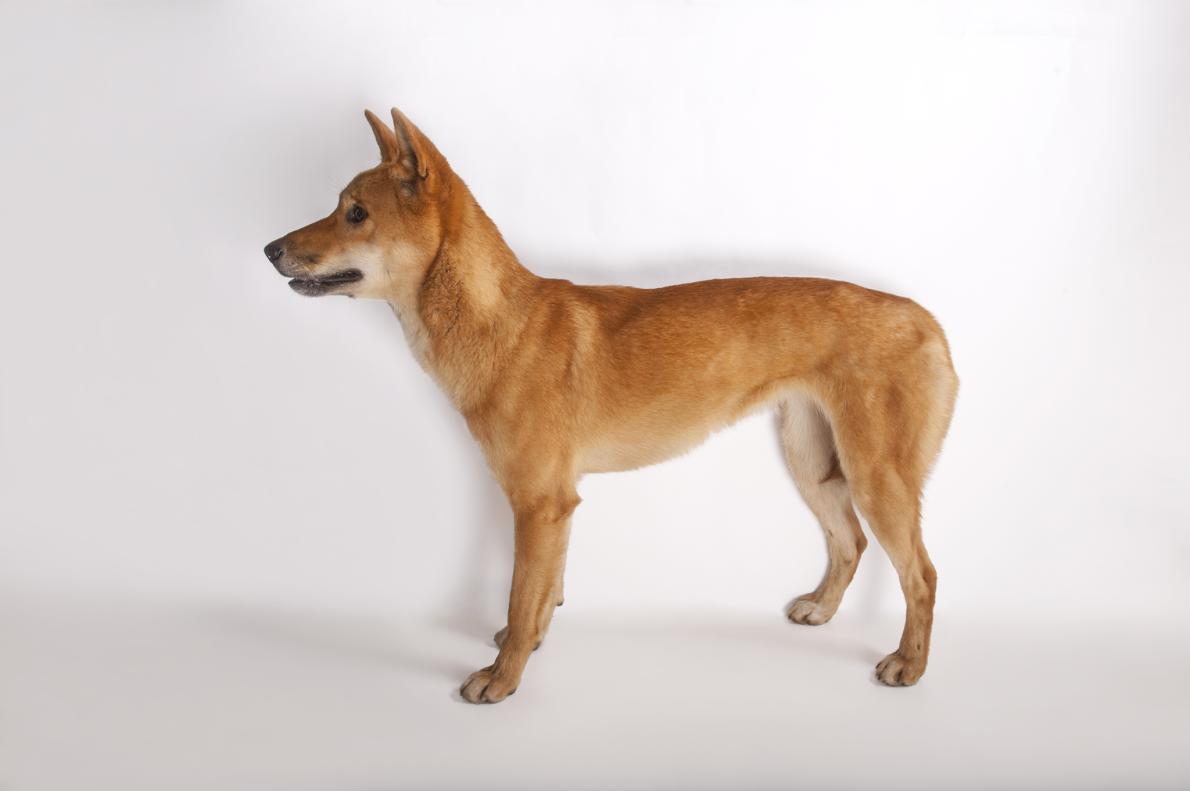 Dingo Dog Food