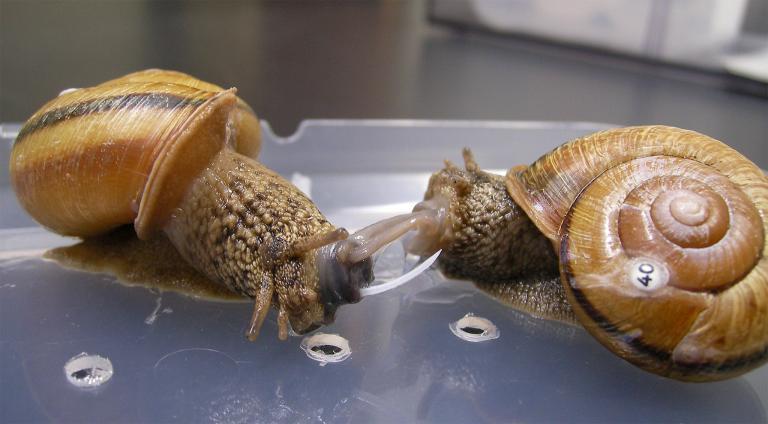 産卵後のカタツムリ