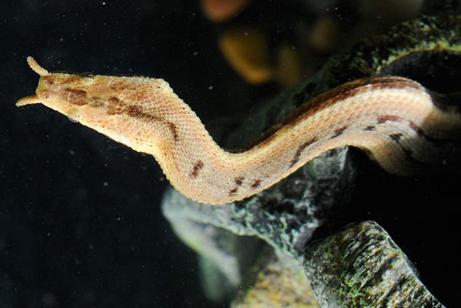 ヒゲミズヘビ、触角で獲物を遠隔...