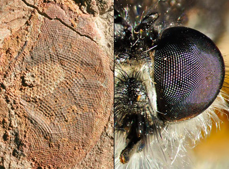 驚くべき性能、5億年前の複眼化石 | ナショナルジオグラフィック日本版 ...