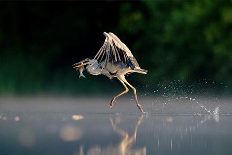 水面を走るアオサギ、英野生生物写真賞