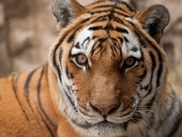 タイガー シベリア