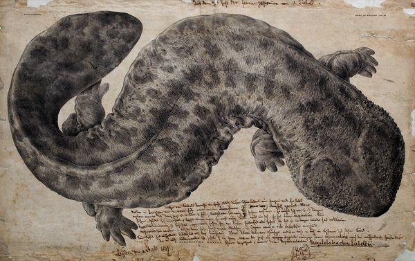 オオサンショウウオ博物標本の愉しみ ナショナルジオグラフィック