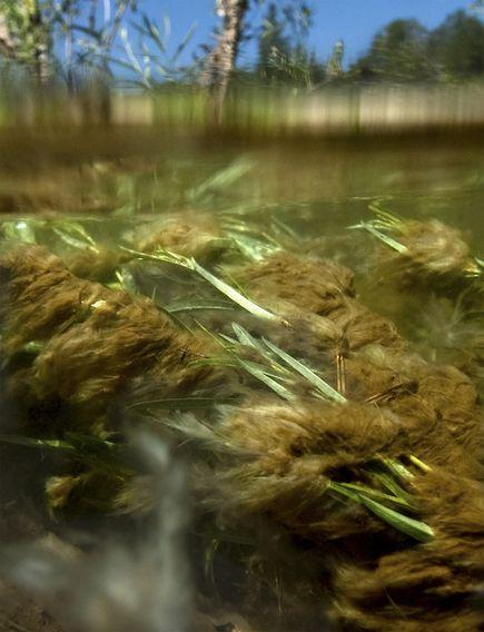 奇態な藻の大量繁殖、温暖化が原...