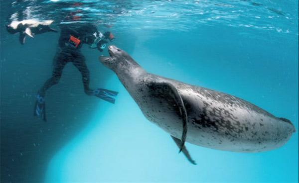獲物のペンギンをくれたヒョウアザラシ | ナショナルジオグラフィック ...