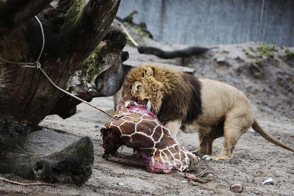 キリンに続きライオン4頭を殺処...