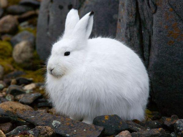 カンジキウサギ、温暖化に適応できる?ナショナルジオグラフィック日本版サイト