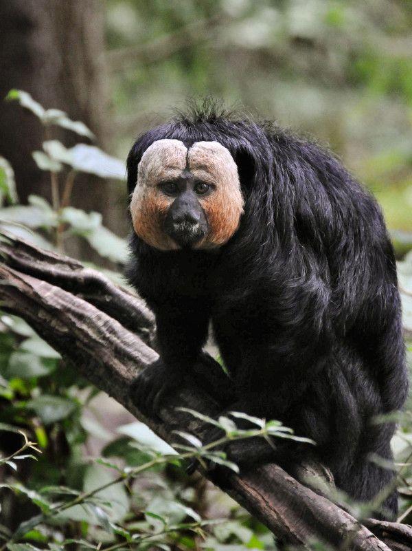 アマゾンで新たにサキ5種を特定 | ナショナルジオグラフィック日本版サイト