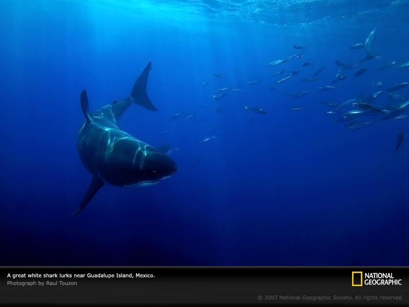 メキシコ、グアダルーペ島付近に潜むホホジロザメナショナルジオグラフィック日本版サイト