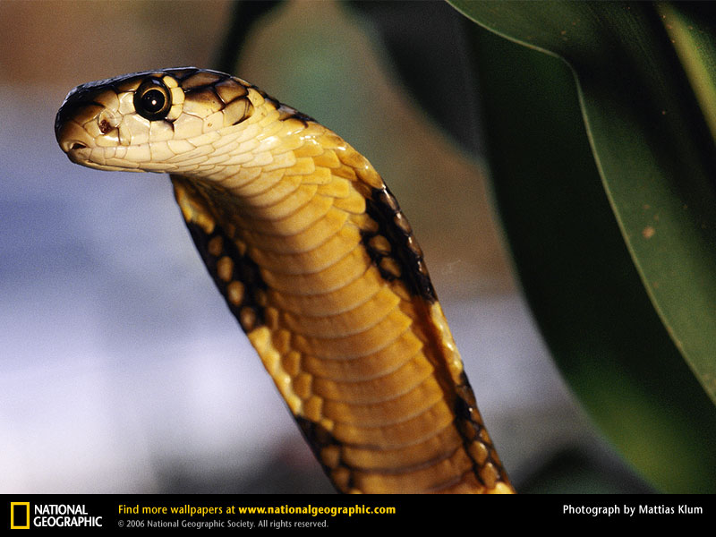 キングコブラの画像 p1_21