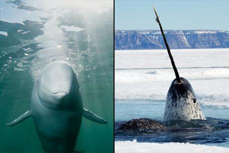 イルカとイッカク、北極のハイブリッドナショナルジオグラフィック日本版サイト