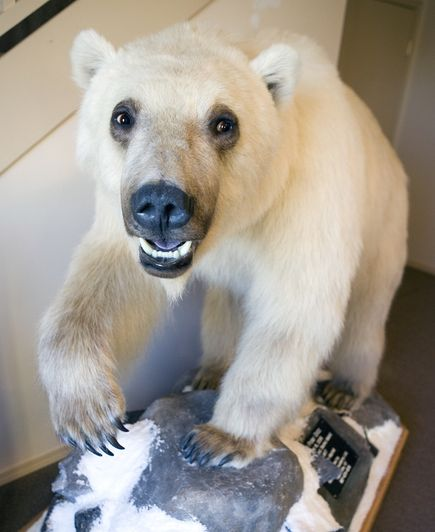 http://natgeo.nikkeibp.co.jp/nng/images/news/bigphotos/images/possible-hybrid-species-arctic-polar-grizzly-bear_30469_big.jpg
