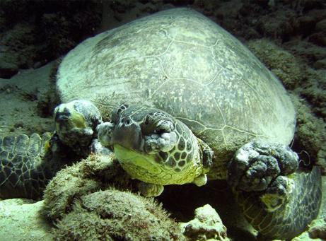 アオウミガメの腫瘍、原因は水質汚染か | ナショナルジオグラフィック日本版サイト