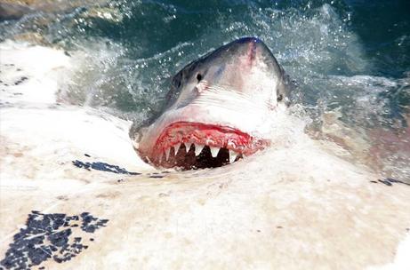 ホホジロザメの画像 p1_34