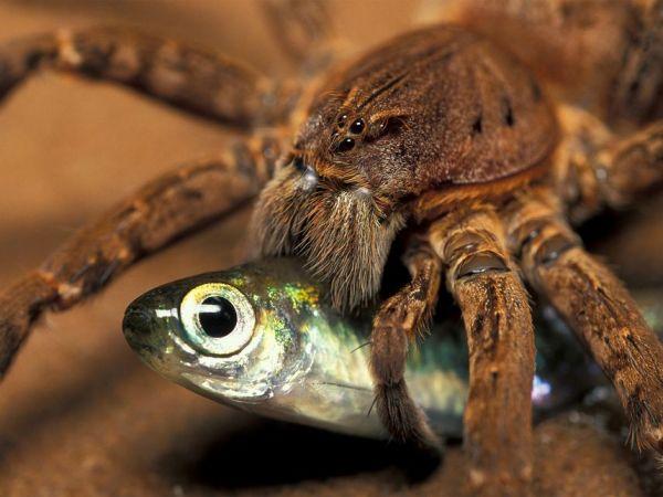魚を食べるクモ、少なくとも18種ナショナルジオグラフィック日本版サイト