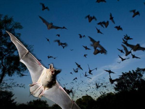 コウモリの画像 p1_31