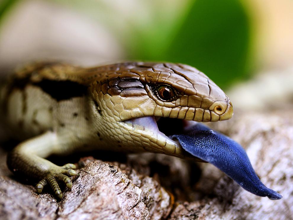 爬虫類アオジタトカゲ