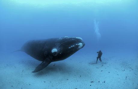 セミクジラの画像 p1_25