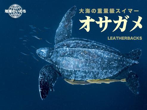 オサガメの画像 p1_14