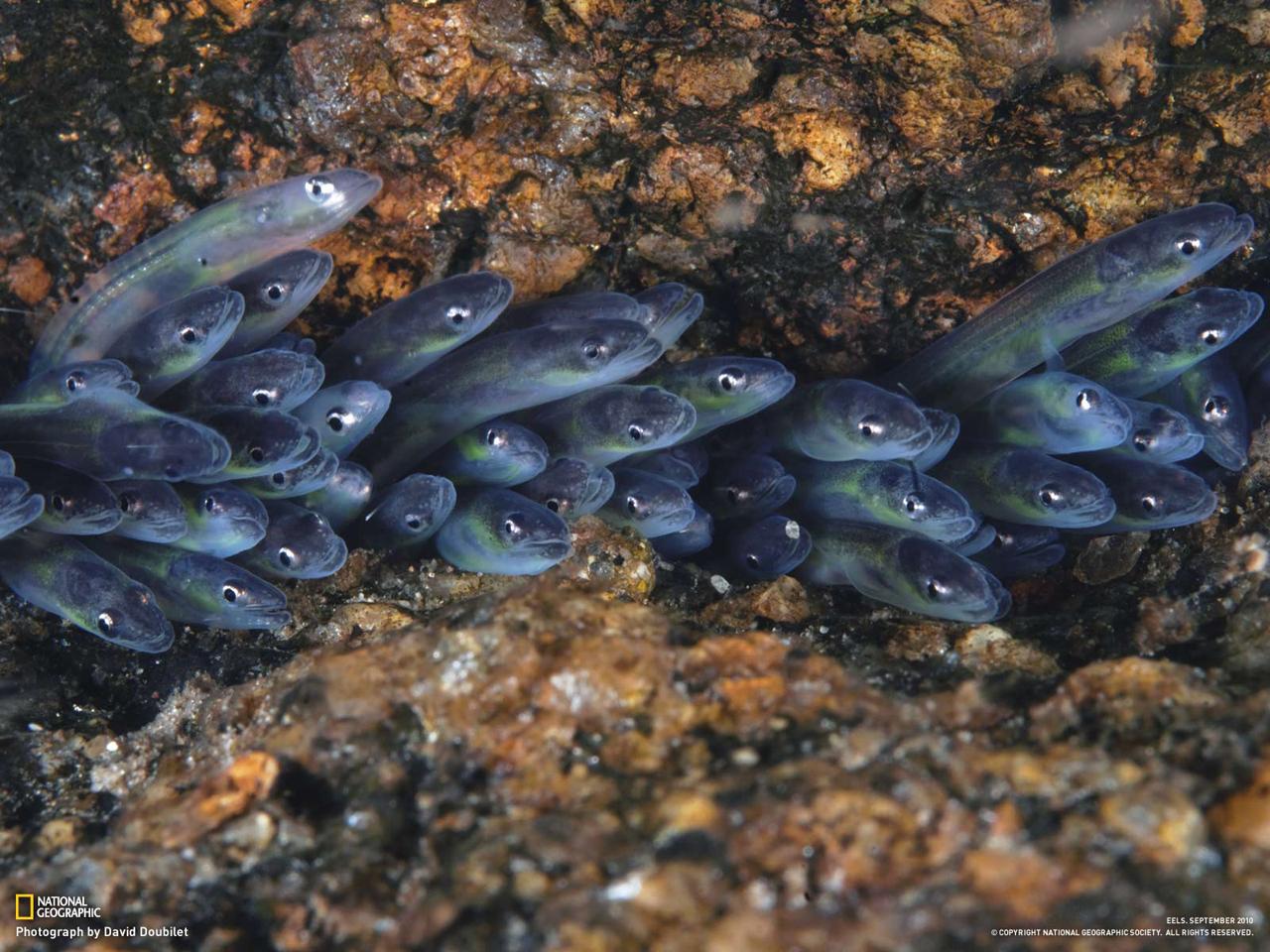 稚魚 ウナギ