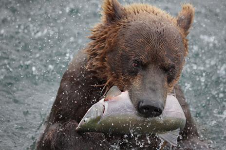 21/23 ベニザケを捕るクマ。大量のタイヘイヨウサケが遡上してくるク... 特集:サケの楽園